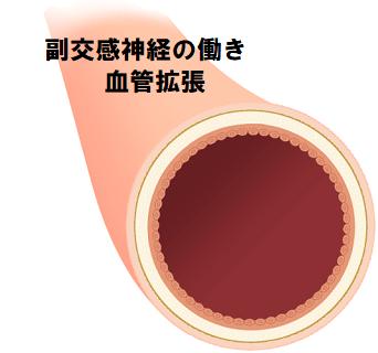 副交感神経の働き 血管拡張